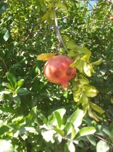 Die Granatapfelsaison ist schon fast vorbei