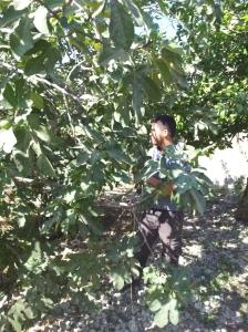 Die Familie von Malik, einem Bauer aus Naqura in der Nähe von Nablus, besitzt unter anderem drei Oliven- und weitere Obstbäume. Hier pflückt er Feigen für uns