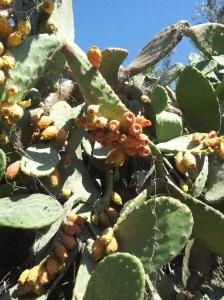 Sabr, Kaktusfrüchte